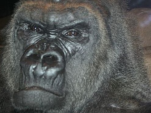 Google Image Result for http images publicradio org content 2008 03 28 20080328 gorilla2 33 jpg